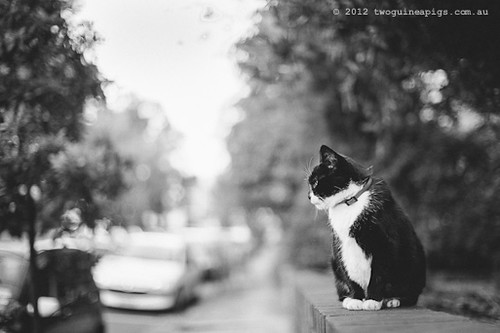Rambo the Cat by twoguineapigs Pet Photography [9]