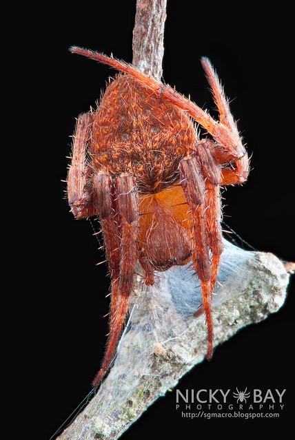 Neoscona Orb Weaver Spider - (Neoscona vigilans) - DSC_5383