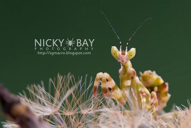 Flower Mantis (Creobotra sp.?) - DSC_5050