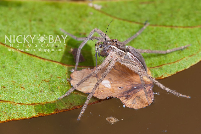 Fishing Spider (Nilus sp.) - DSC_3361