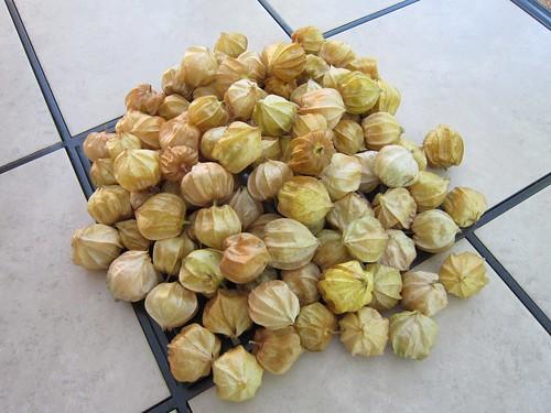 収穫した食用ほおずき 2012年10月5日 by Poran111