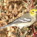 Hermit Warbler at Last Chance, Colorado (Washington County) - October 8, 2012
