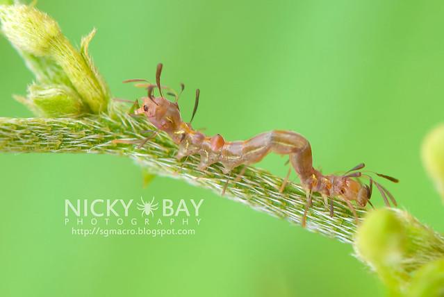 Owlet Moth larva (Homodes sp.) - DSC_2666
