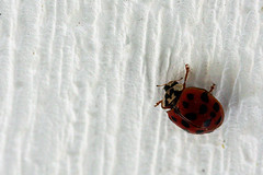 Last of the Ladybugs