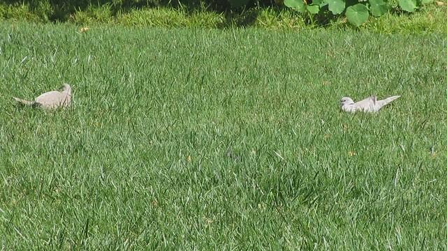 MVI_1121 eurasian collared dove backyard