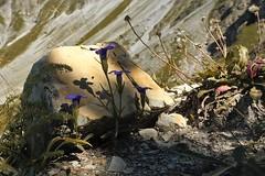 Jardin alpin... Alpine garden... #Darktable #FujiX-S1
