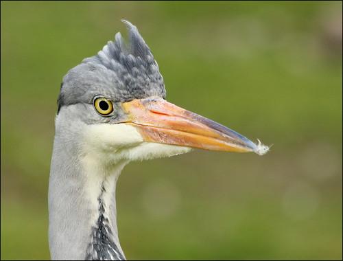 eaglesflying ireland sligo bird heron greyheron ardeacinerea