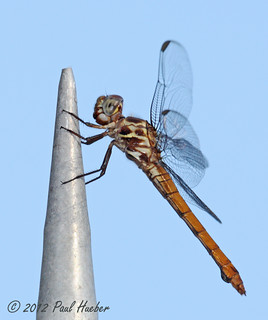 Roseate Skimmer female (Orthemis ferruginea)
