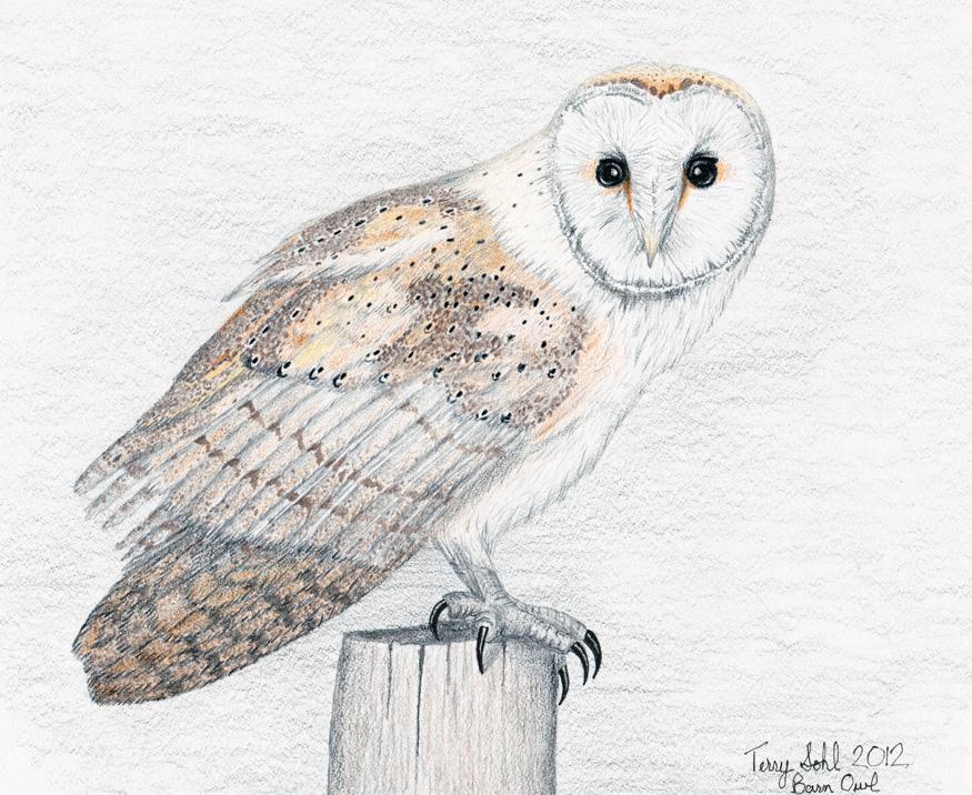 Barn Owl - Tyto alba - Colored pencil drawing | Flickr ...