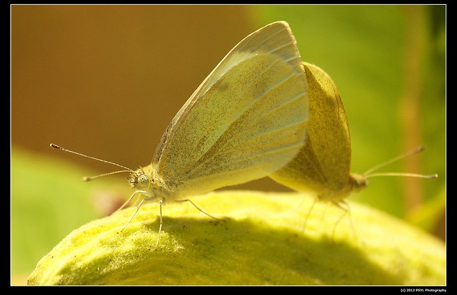 Unknown Sulfur Butterflies (Colias sp.)