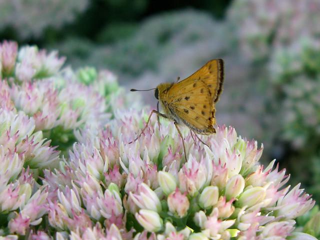 2012.09.03 - Hylephila phyleus I