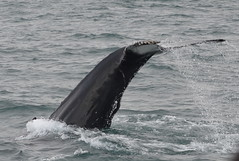 animal, marine mammal, sea, marine biology, wind wave, whales, dolphins, and porpoises,