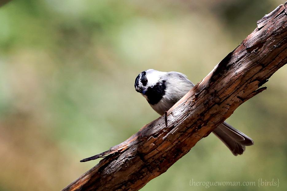 081412_03_bird_chickadee