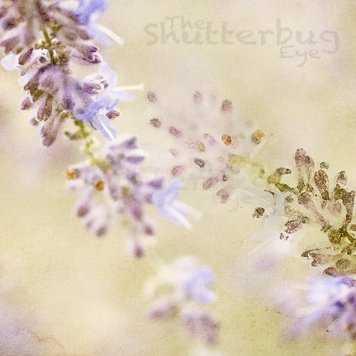 Lavender by The Shutterbug Eye™