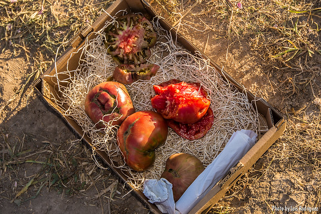 Tomates Carabaña-17