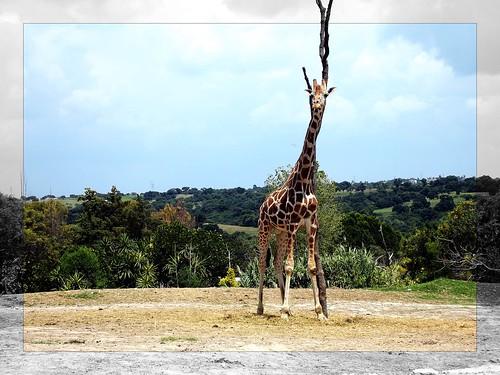 La rama jirafa by LuchoVaS