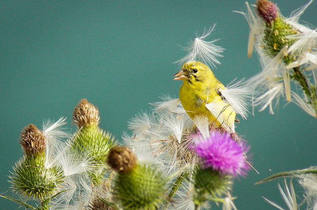 american goldfinch song american goldfinch picture american goldfinch facts american goldfinch migration lesser goldfinch american goldfinch nesting american goldfinch range feeding natural thistle thistles