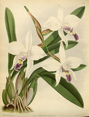 cattleya labiata, cut flowers, flower, plant, lilac, laelia, phalaenopsis equestris, flora,