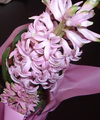 Thursday Colours - Pink Hyacinth