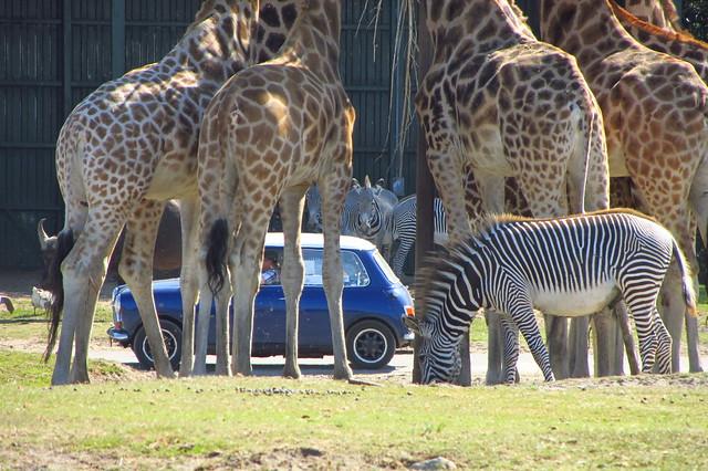 Mini tussen giraffen