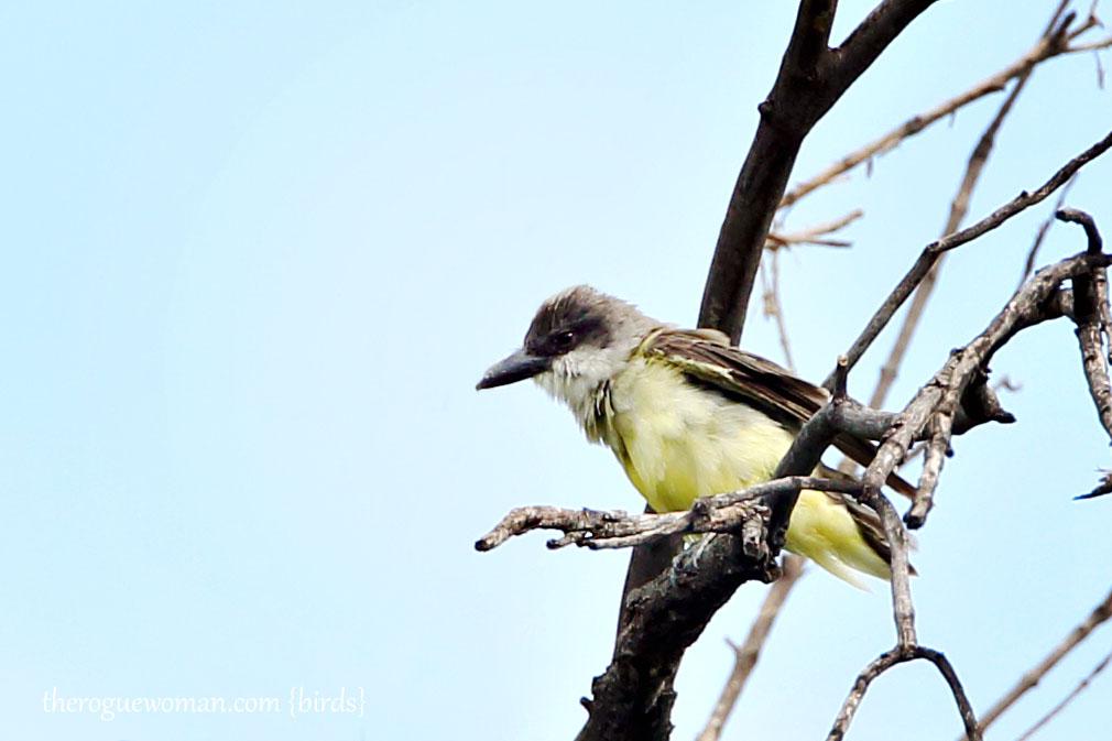 090212_04_bird_pass_thickBilledKingbird