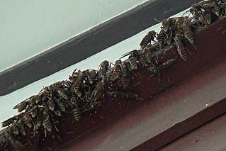 アシナガバチの群れ(Close up)