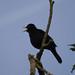 Blackbird (Ed Drewitt)