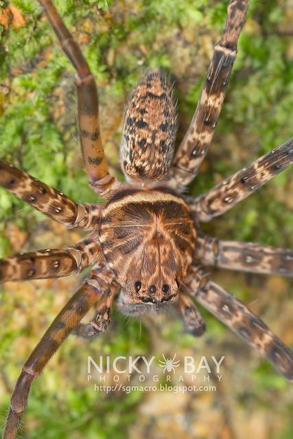 Huntsman Spider (Sparassidae) - DSC_2767