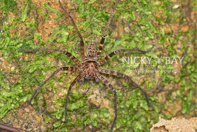 Huntsman Spider (Sparassidae) - DSC_2766