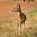 Spotted Deer, Tadoba (Bret Charman)