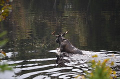 Thumbnail image for Still swimmng on Cape Breton–especially the Moose