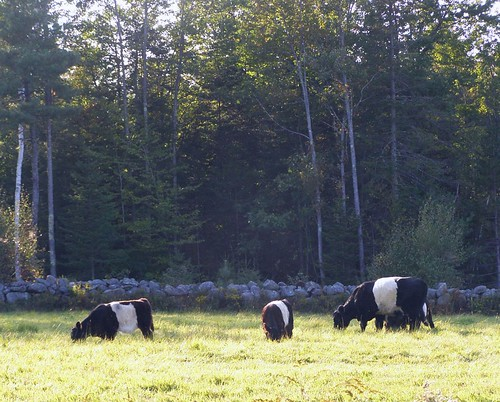 2012_0922OreoCow0003 by maineman152 (Lou)