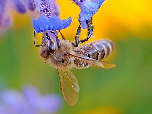 A honey bee working on a Russian Sage.