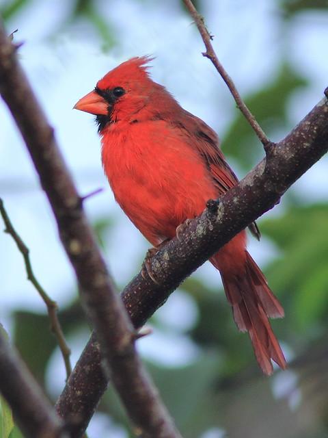 Northern Cardinal 20120924