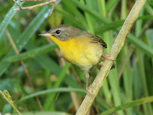 Common Yellowthroat imm male 20120924