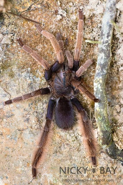 Malaysian Purple Femur Tarantula (Coremiocnemis sp.) - DSC_5983