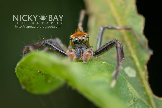 Jumping Spider (Epeus flavobilineatus) - DSC_5782