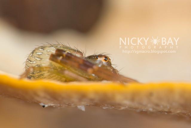 Crab Spider (Thomisidae) - DSC_5306