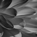 Mono Dahlia Petals - 1 by GOR44Photographic@Gmail.com