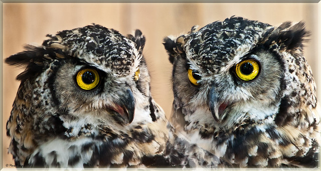 0073 Owl Vancouver