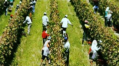 Dificultades no frenan avance de vitivinicultura en Bolivia