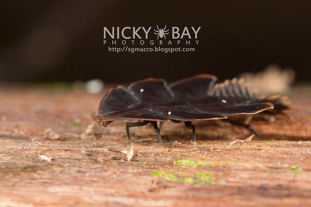 Trilobite Beetle (Duliticola sp.) - DSC_8728
