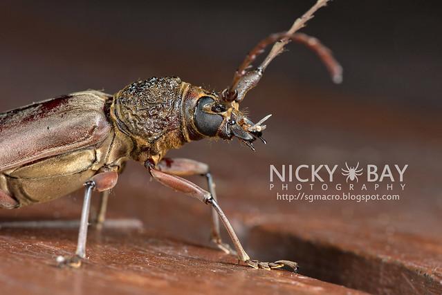 Longhorn Beetle (Cerambycidae) - DSC_9042