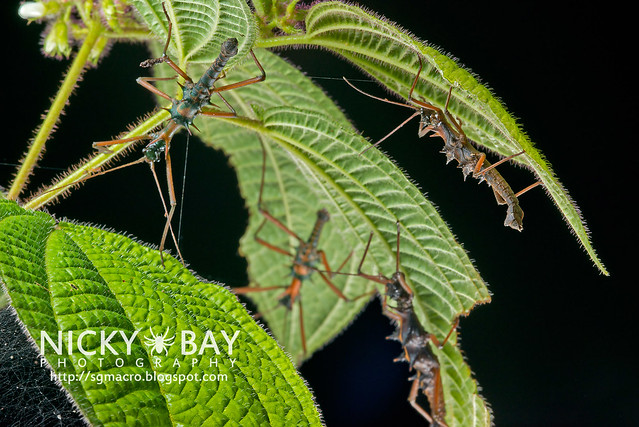 Stick Insects (Phasmatodea) - DSC_8843