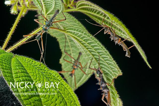 Stick Insects (Phasmatodea) - DSC_8843