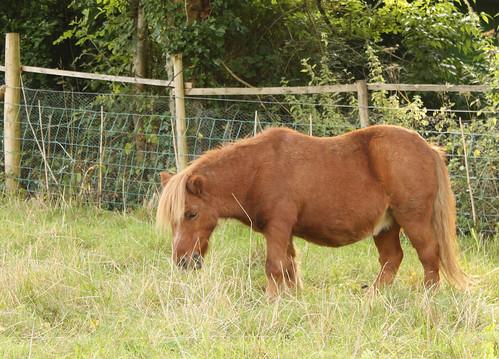 Shetland pony original