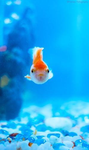 Lion Head Gold Fish