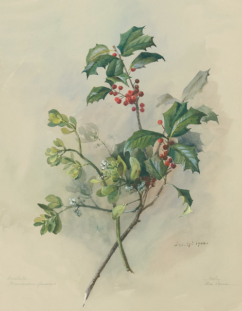 Eloise Payne Luquer, American Holly, Ilex opaca, and Oak Mistletoe, Phoradendron leucarpum, 1900. Watercolor and gouache on paper.