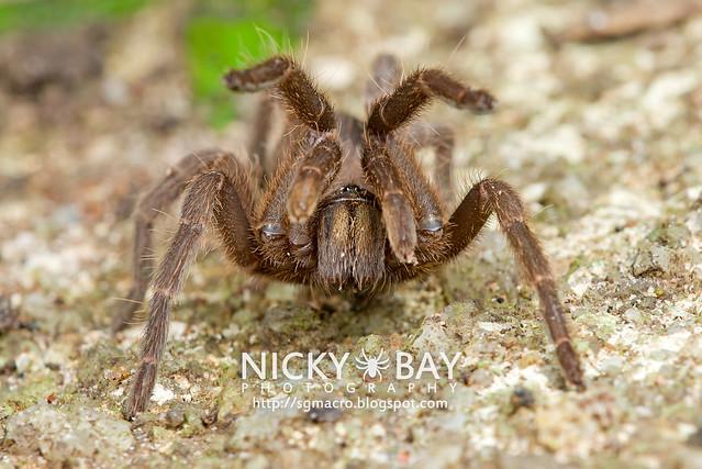 Tarantula (Phlogiellus inermis) - DSC_6968