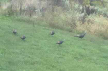 Rafter of turkeys hanging out in our backyard